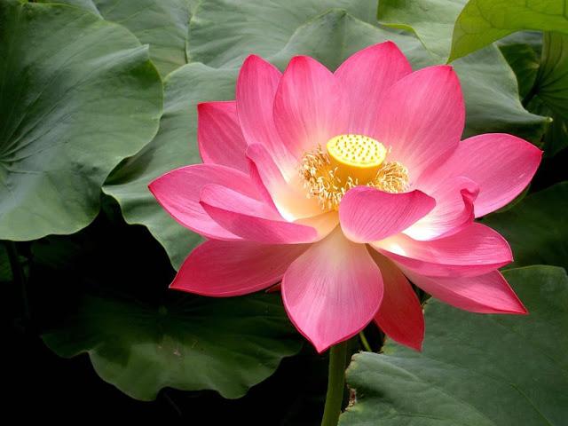 Lotosa zieds - tīrības un apgaismības simbols